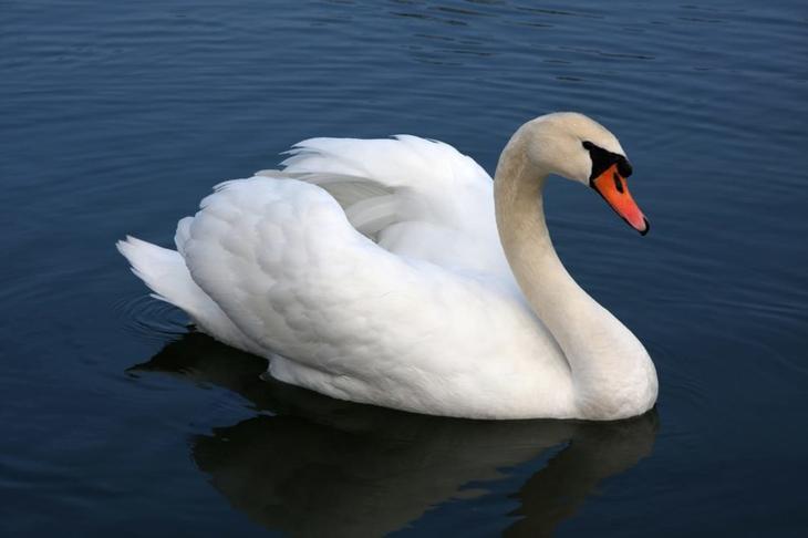 15. Лебедь-шипун животные, природа, факты