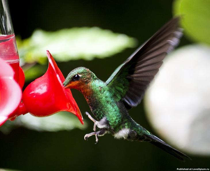 Пчелиный колибри