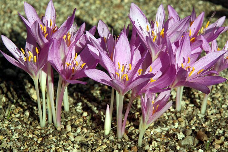 Безвременник осенний. Растение содержит колхицин, который при попадании в организм подавляет деление клеток. В результате все жизненные функции организма по очереди останавливают свою работу. (M a n u e l)