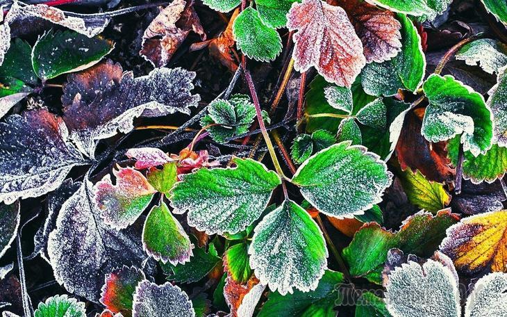 Уход за клубникой осенью и подготовка к зиме