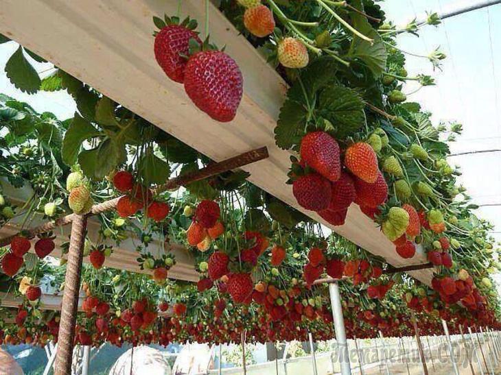 Способы выращивания клубники в теплице круглый год