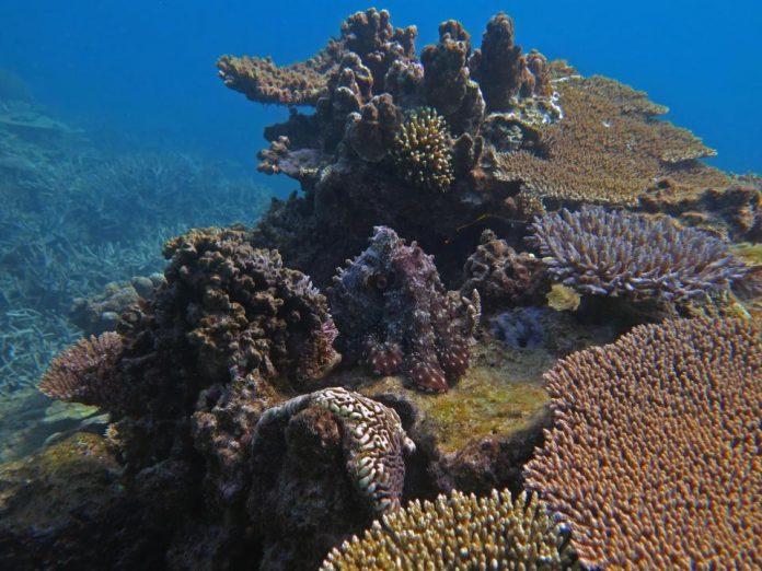 На фоне кораллового рифа скрывается осьминог, найдите его!