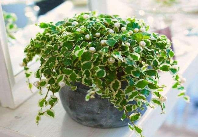 Фикус пумила 26 фото особенности карликового фикуса уход за растением в домашних условиях и правила размножения