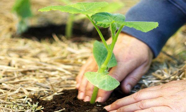 Как подготовить семена тыквы к посадке и ухаживать за рассадой в открытом грунте