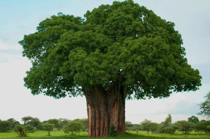 Баобаб Фото дерева где растет высота свойства масла интересные факты