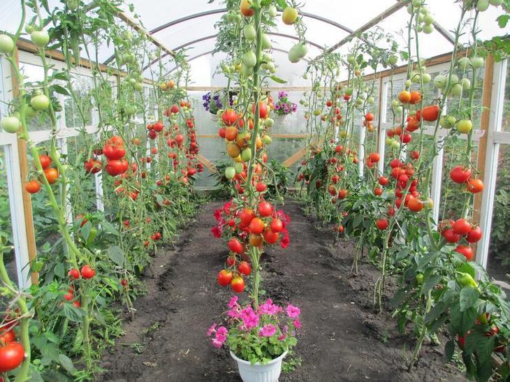 Правильное выращивание рассады помидор