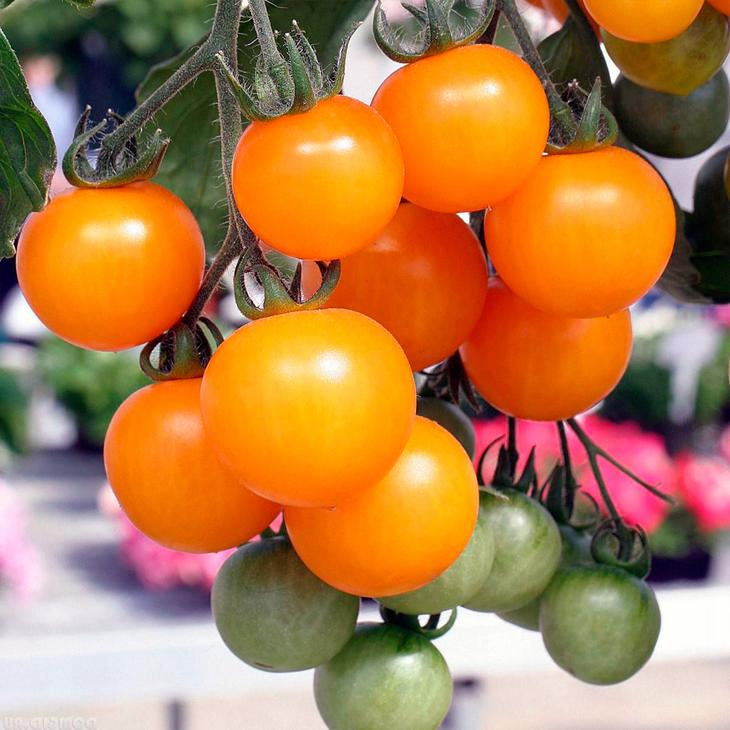 Особенность томатов - развитая корневая система и крепкий стебель