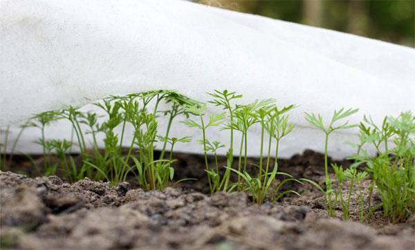 Как нужно посадить морковь чтобы быстро взошла: способы ускорения прорастания