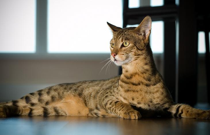 Ашера — домашней бенгальской кошки и африканского сервала. (AussieGold)