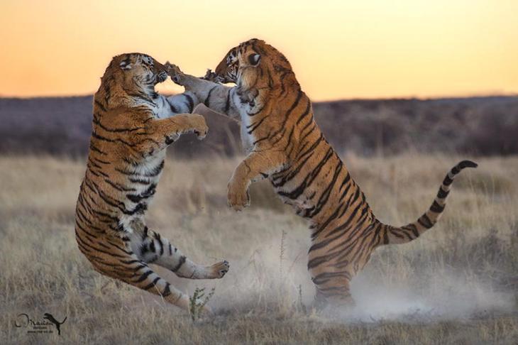 Тигры – дикий животный магнетизм в 30 потрясающих фотографиях 9