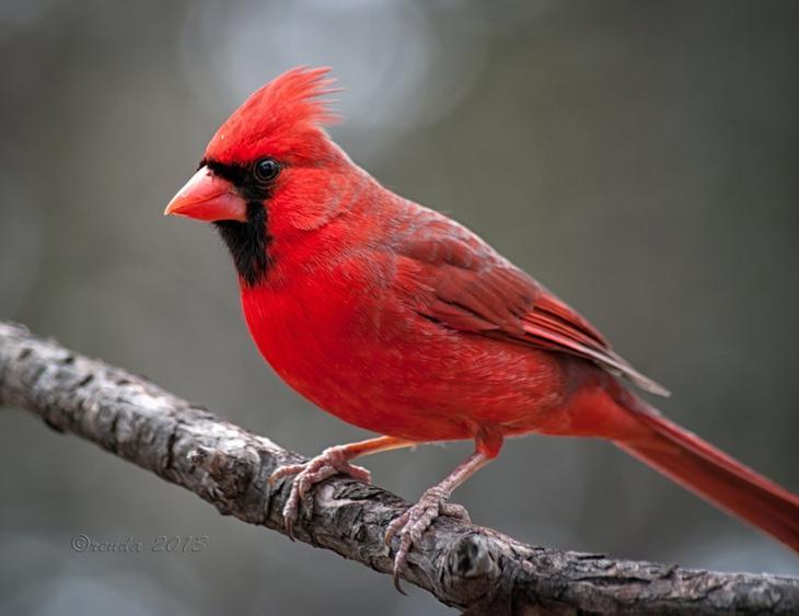 Красный кардинал животные, красные животные, природа, цвет