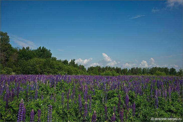 Цветущие поля лета