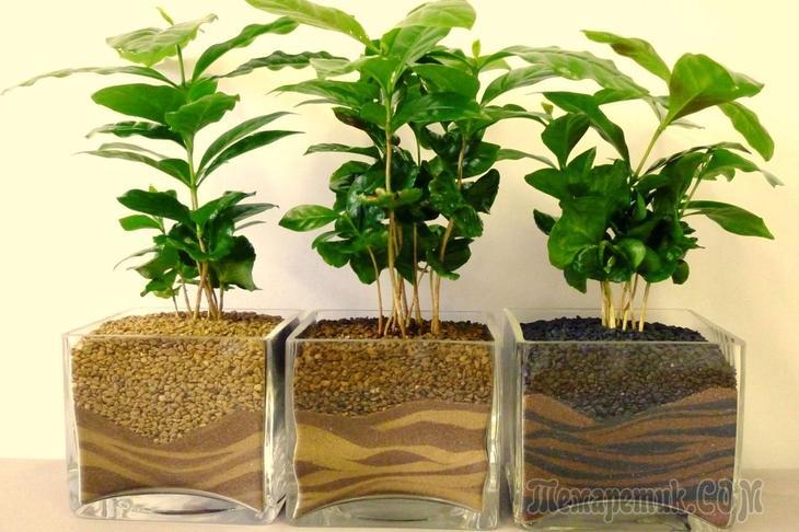 Кофейное дерево — выращиваем в домашних условиях