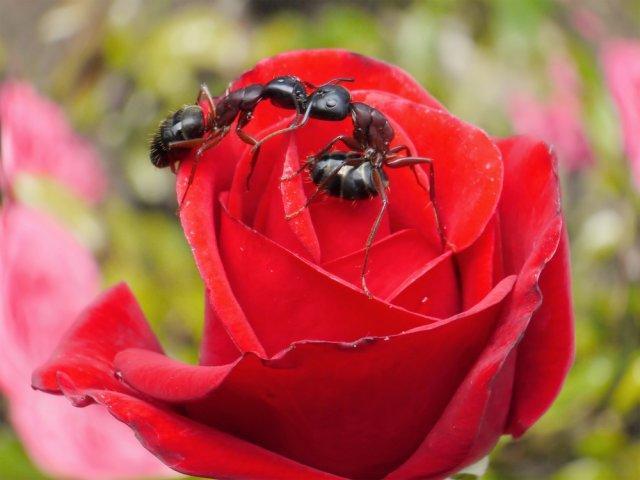 Методы борьбы с тлей на розах