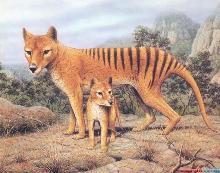 Тасманийский волк животные, интересное, природа, человек