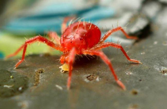 Средство от паутинного клеща на смородине