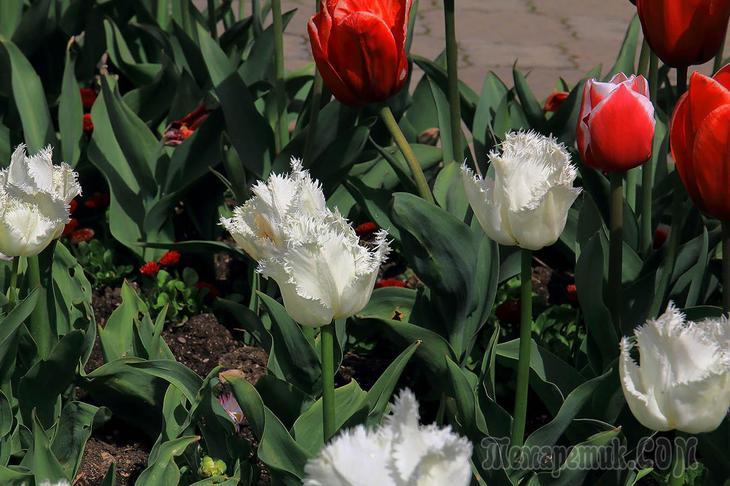 """Крым. Апрель. Никитский Ботанический сад. 1. """"Парад Тюльпанов"""""""