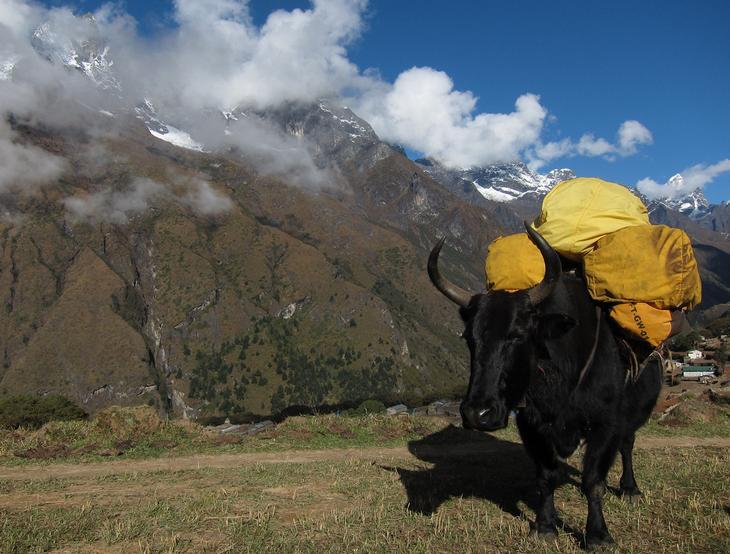 Хайнак — гибрид коровы и яка. (Markrosenrosen)