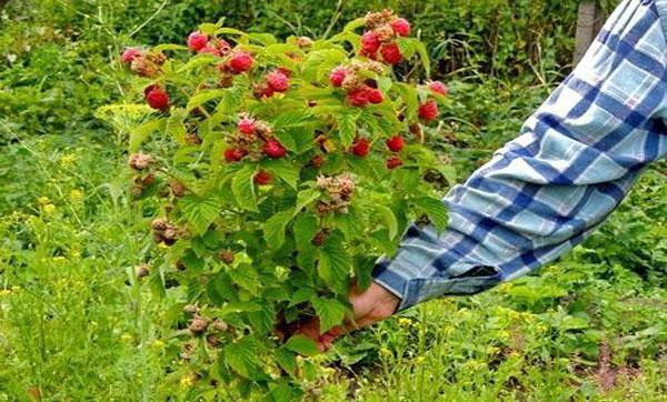 Штамбовая малина - посадка и уход, сорта малинового дерева