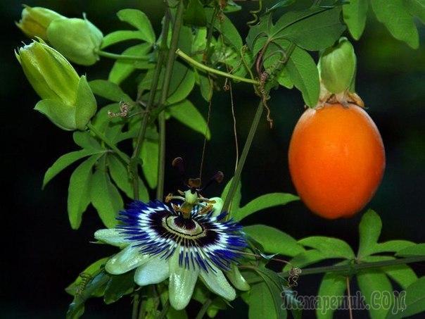 Passiflora.ru - Коллективные заказы