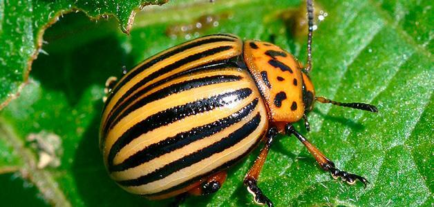 Колорадский жук польза и вред