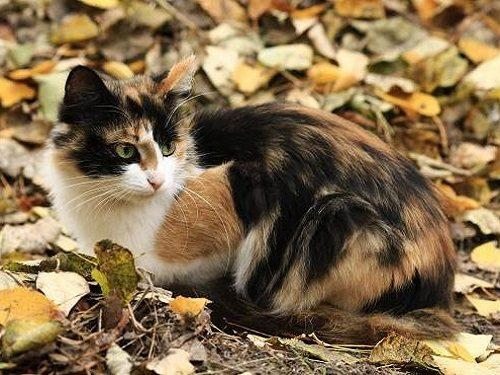 Народные приметы про 3-хцветную кошку