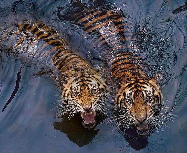 Тигры – дикий животный магнетизм в 30 потрясающих фотографиях 11