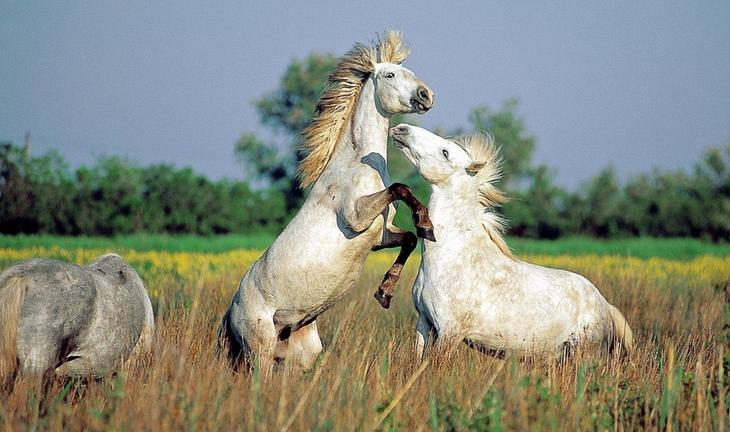 Камаргская лошадь (камаргу)