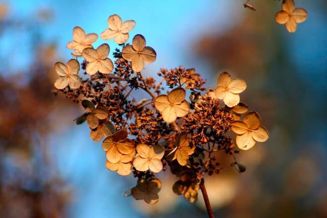 Как подготовить гортензию к зиме уход осенью в сентябре и октябре на даче