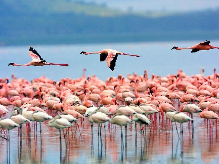 Национальный парк Озеро Накуру в Кении. Розовые фламинго. Фото