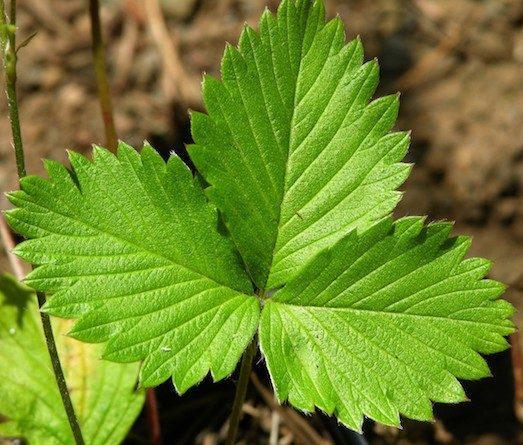 Настой из листьев земляники
