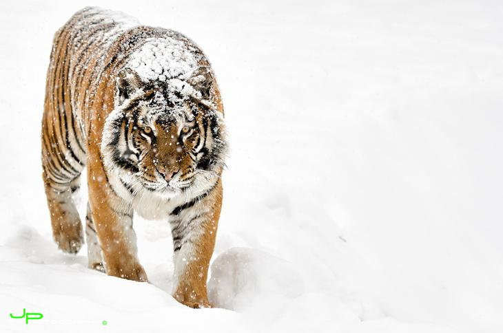 Тигры – дикий животный магнетизм в 30 потрясающих фотографиях 16