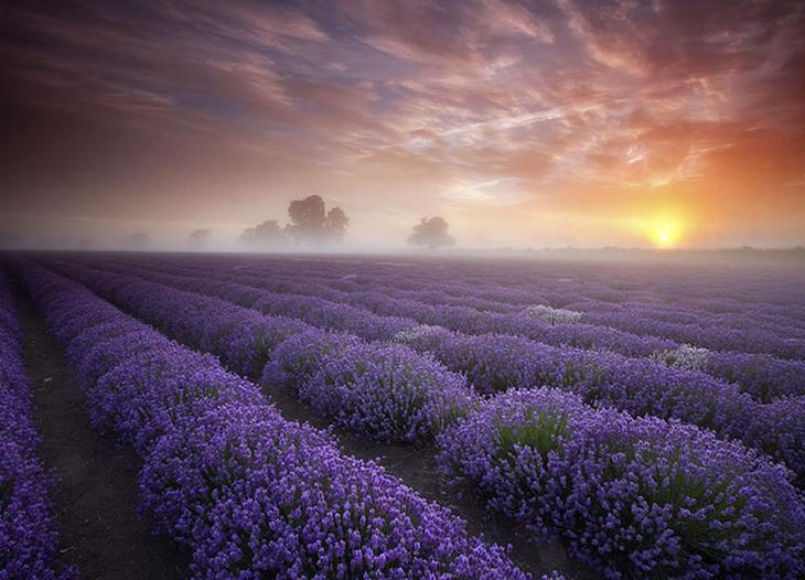 Лавандовые поля в Англии