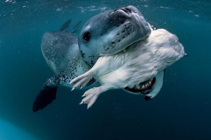 Морской леопард на охоте loverme