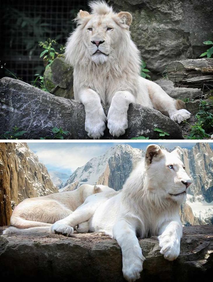 Белый лев. Красота созданная природой. Самые красивые животные планеты. Фото с сайта NewPix.ru