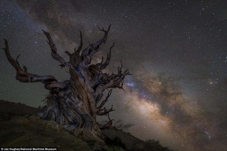 Млечный путь над одним из самых старых деревьев в мире в национальном заповеднике Иньо в Калифорнии. Джез Хьюз, Великобритания. астрономия, конкурс, космос, красиво, лучшее, планеты, фото, фотографы