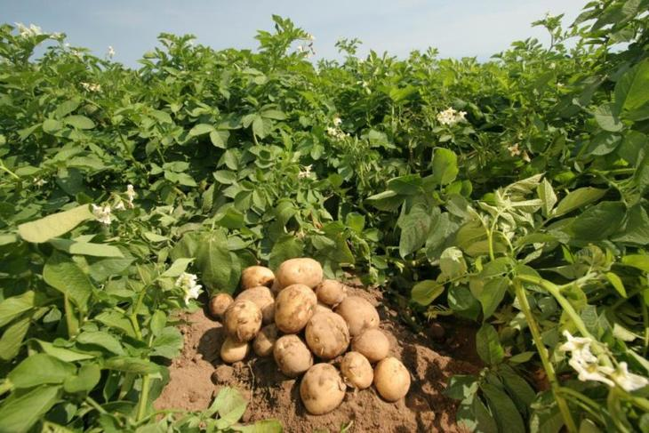 Позднеспелый сорт картофеля