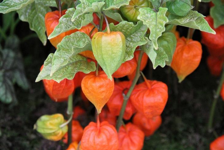 Физалис декоративный выращивание из семян — растение с оранжевыми фонариками