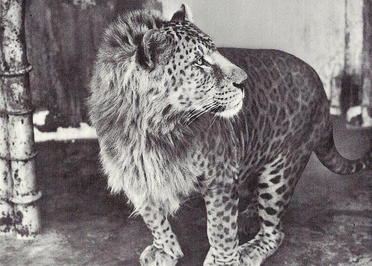 18 гибридных животных, в существование которых трудно поверить-14