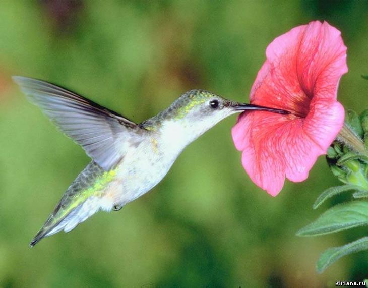 Колибри где живт эта птичка и сколько она весит