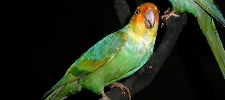 Каролинский попугай животные, интересное, природа, человек