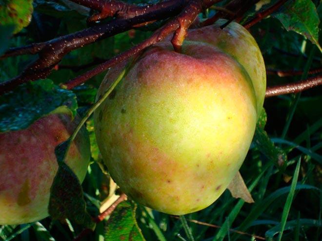 Яблоко северный сенат
