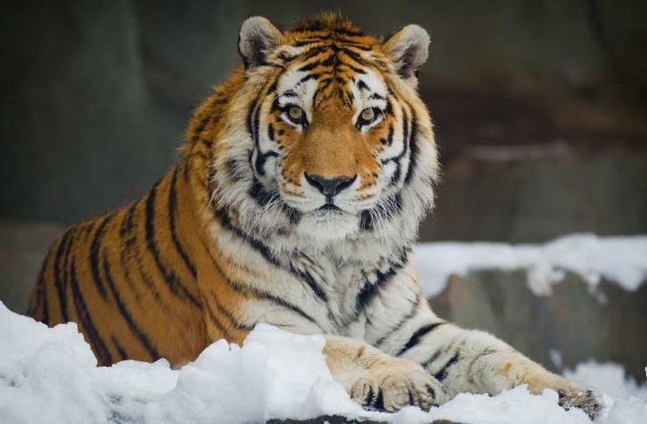 Амурский тигр. Красота созданная природой. Самые красивые животные планеты. Фото с сайта NewPix.ru