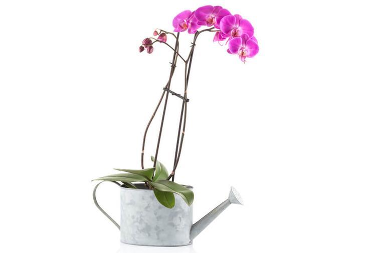 У орхидеи засох цветонос что делать