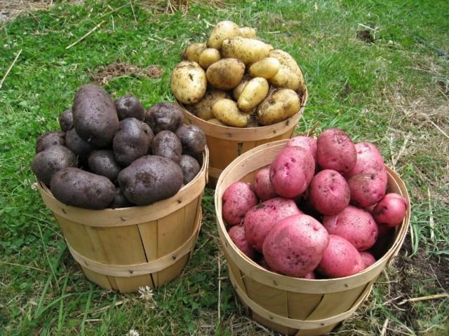 Как правильно хранить семенной картофель Из огорода
