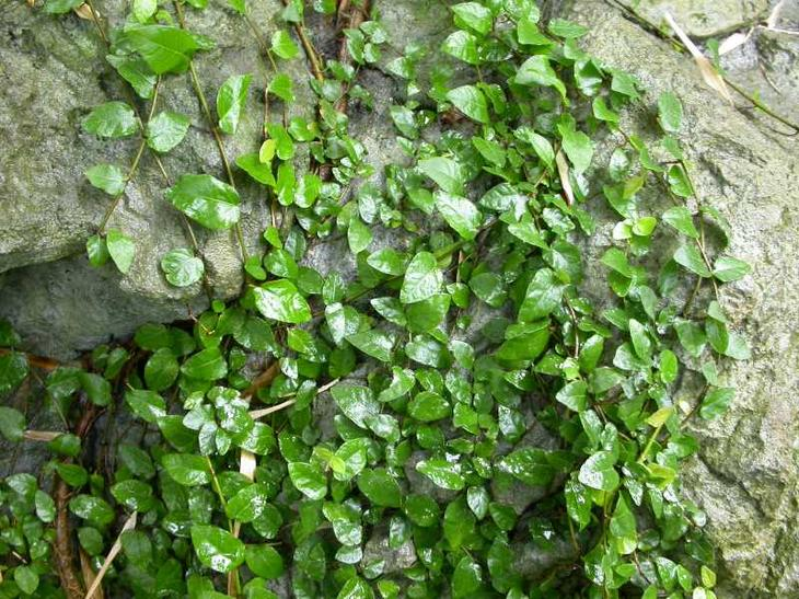 Карликовый фикус в естественных условиях