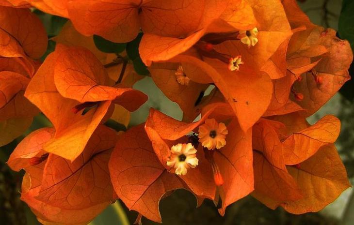 Оранжевая бугенвиллия
