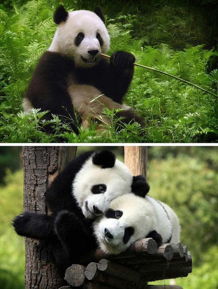 Большая панда. Красота созданная природой. Самые красивые животные планеты. Фото с сайта NewPix.ru