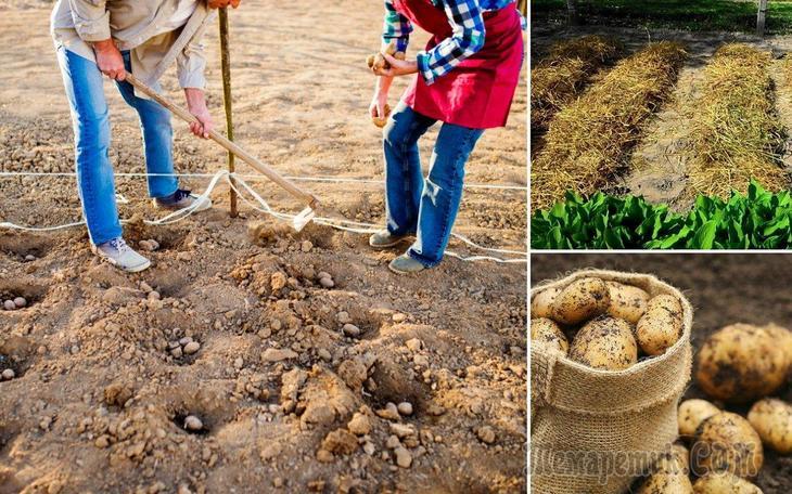 Подзимняя посадка картофеля на даче