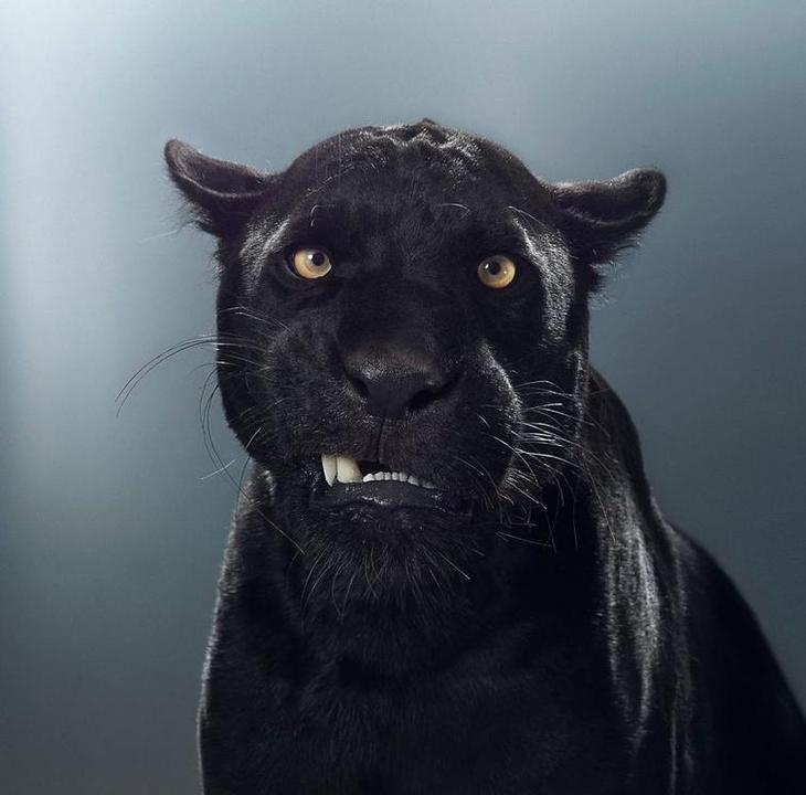 Фотографии больших кошек, показывающие, что у каждой кисы есть свой характер